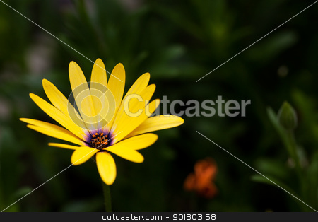 Yellow Flower stock photo, An osteospermum isolated against a green grass background by Tyler Olson