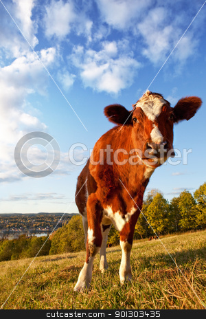 Funny Cow stock photo, A close-up of a cow looking at the camera by Tyler Olson