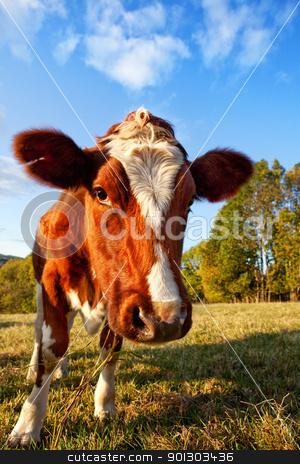 Curios Cow stock photo, Curious Cow by Tyler Olson