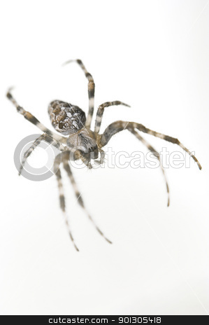 Spider  stock photo, Big spider isolated on white background by johnnychaos