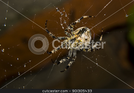 spider with water drops stock photo, Big spider with water drops over old wall by johnnychaos
