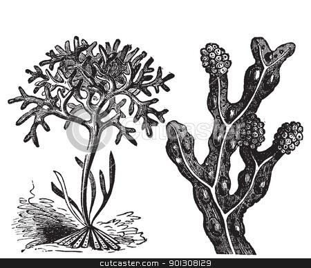 Chondrus crispus , irish moss or Fucus vesiculosus, bladderwrack stock vector clipart, Chondrus crispus , irish moss or Fucus vesiculosus, bladderwrack engraving, old antique illustration of diffrents algaes.  by Patrick Guenette