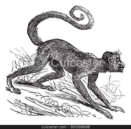 Ateles paniscus or Red-faced spider monkey. Vintage engraving. stock vector clipart, Ateles paniscus, Red-faced spider monkey, Guiana spider monkey or Red-faced black spider monkey. Vintage engraving. Old engraved illustration of a Red-faced spider monkey on his four legs by Patrick Guenette