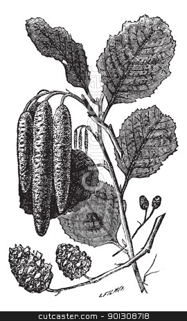 Alder or Alnus vintage engraving stock vector clipart, Alder or Alnus sp., vintage engraving. Old engraved illustration of an Alder plant showing the longer male catkins (center) and shorter female catkins (bottom). by Patrick Guenette