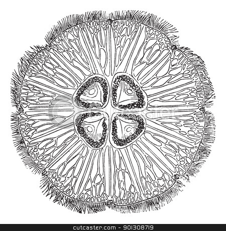 Jellyfish or Aurelia vintage engraving stock vector clipart, Jellyfish or Aurelia, vintage engraving. Old engraved illustration of a common jellyfish (top view). by Patrick Guenette