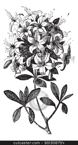 Azalea or Rhododendron vintage engraving stock vector clipart, Azalea or Rhododendron sp, or azalea viscosa., vintage engraving. Old engraved illustration of an Azalea plant showing flowers. by Patrick Guenette