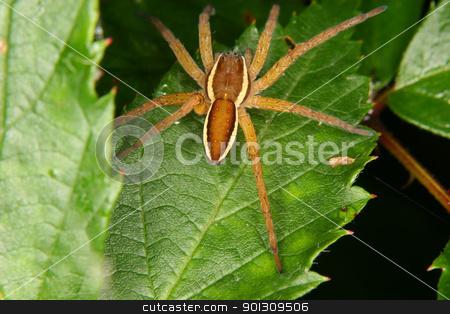Raft spider (Dolomedes fimbriatus) stock photo, Raft spider (Dolomedes fimbriatus) on a leaf by Torsten Dietrich
