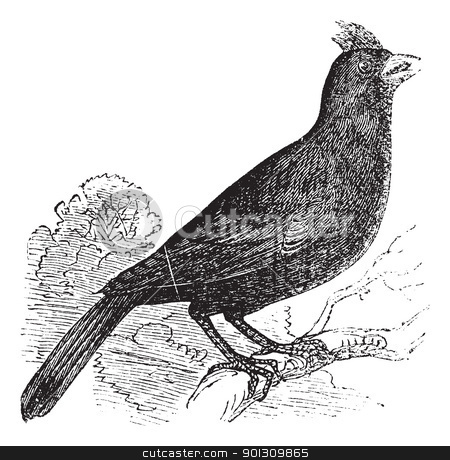 Cardinalis Virginianus or Cardinal of Virginia vintage engraving stock vector clipart, Cardinalis Virginianus or Cardinal of Virginia or Grosbeak vintage engraving. Old engraved illustration of Cardinal of virginia perched on branch. by Patrick Guenette