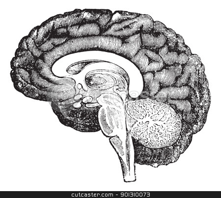 Vertical section of side view of a human brain vintage engraving similar images human brain ccuart Choice Image