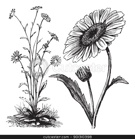 Chrysanthemum sp. vintage engraving stock vector clipart, Chrysanthemum sp., vintage engraving. Old engraved illustration of a Chrysanthemum. by Patrick Guenette