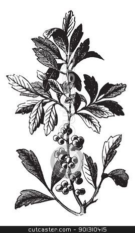 Southern Wax Myrtle or Southern Bayberry or Candleberry or Tallo stock vector clipart, Southern Wax Myrtle or Southern Bayberry or Candleberry or Tallow or Myrica cerifera, vintage engraving. Old engraved illustration of a Southern Wax Myrtle showing berries. by Patrick Guenette