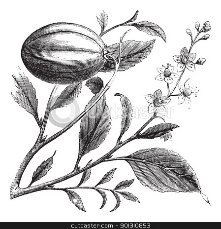 Purging Croton or Croton tiglium, vintage engraving stock vector clipart, Purging Croton or Croton tiglium, vintage engraving. Old engraved illustration of a Purging Croton plant showing flowers. by Patrick Guenette