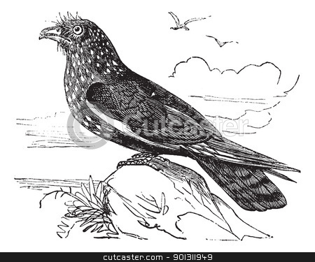 Guacharo Caripe (Steatornis caripensis) or Oilbird vintage engra stock vector clipart, Guacharo Caripe (Steatornis caripensis) or Oilbird vintage engraving. Old engraved illustration of Guacharo, a nocturnal fruit eating bird. by Patrick Guenette