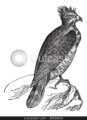 Harpy (thrasaetus harpyia) vintage engraving stock vector clipart, Harpy (thrasaetus harpyia) vintage engraving. Old engraved illustration of harpy eagle. by Patrick Guenette
