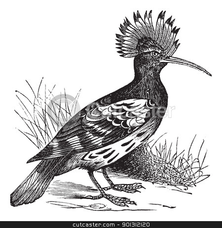Hoopoe or Upupa epops vintage engraving stock vector clipart, Hoopoe or Upupa epops, vintage engraving. Old engraved illustration of Hoopoe in the meadow. by Patrick Guenette