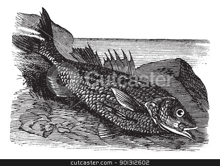 Labrax lines (labrax lineatus) vintage engraving stock vector clipart, Labrax lines (labrax lineatus) vintage engraving. Old engraved illustration of  by Patrick Guenette
