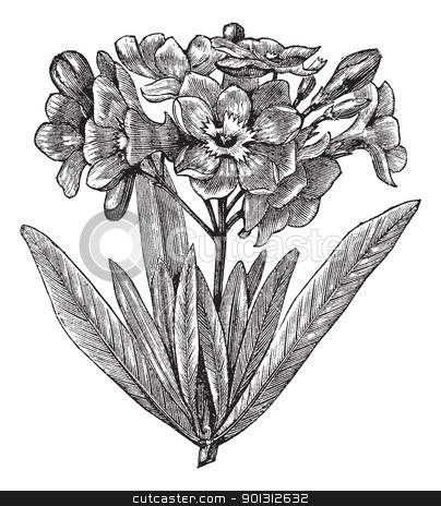 common oleander nerium oleander vintage engraving stock vector