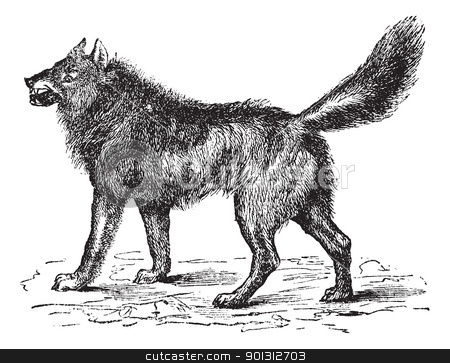 Eurasian Wolf or Canis lupus lupus vintage engraving stock vector clipart, Eurasian Wolf or Canis lupus lupus or European, Common or Forest Wolf or Altaicus or lycaon or Grey wolf, vintage engraving. Old engraved illustration of Eurasian Wolf. by Patrick Guenette
