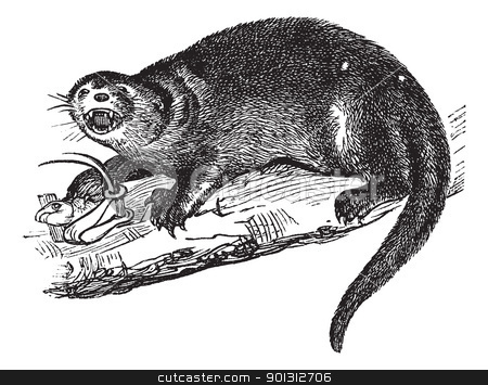North American river otter or Lontra canadensis vintage engravin stock vector clipart, North American river otter or Lontra canadensis or American otter or Lutra canadensis or Northern river otter or Common otter or Prince of Wales or Fish otter or Canadian otter or Nearctic river otter or land otter, vintage engraving.  Old engraved illustration of North American river otter with captured prey. by Patrick Guenette