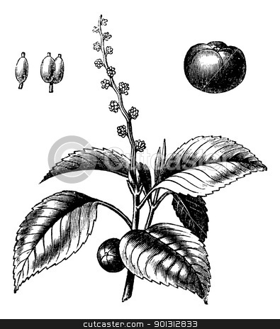 Manchineel tree or Hippomane mancinella vintage engraving stock vector clipart, Manchineel tree or Hippomane mancinella or Mancanilla or Mancinella or Manchioneel, vintage engraving. Old engraved illustration of Manchineel tree isolated on a white background. by Patrick Guenette