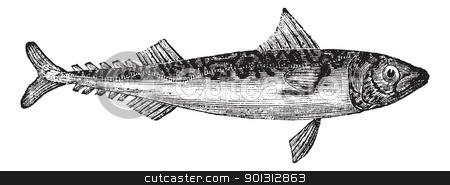 Atlantic mackerel or Scomber scombrus vintage engraving stock vector clipart, Atlantic mackerel or Scomber scombrus or Boston mackerel or Mackerel, vintage engraving. Old engraved illustration of Atlantic mackerel isolated on a white background.    by Patrick Guenette
