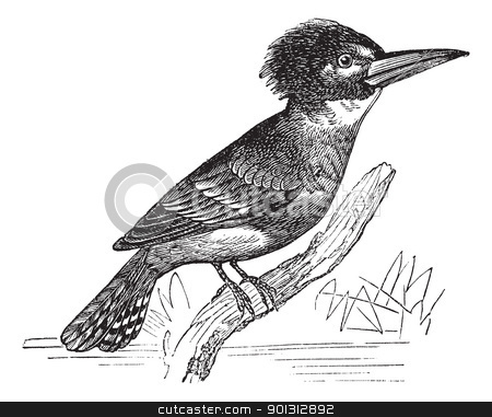Belted Kingfisher or Megaceryle alcyon vintage engraving stock vector clipart, Belted Kingfisher or Megaceryle alcyon or Ceryle alcyon, vintage engraving. Old engraved illustration of Belted Kingfisher (male) waiting on a branch. by Patrick Guenette