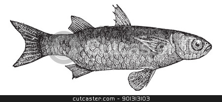 Striped Mullet (Mugil Lineatus) or flathead mullet fish, vintage stock vector clipart, Striped Mullet (Mugil Lineatus) or flathead mullet fish, vintage engraved illustration. Trousset encyclopedia (1886 - 1891). by Patrick Guenette