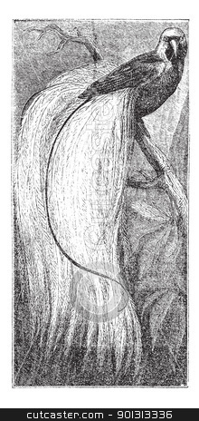 Emerald bird of paradise or Paradisaea apoda, vintage engraving stock vector clipart, Greater Bird-of-paradise, Emerald bird of paradise or Paradisaea apoda, vintage engraved illustration. Trousset encyclopedia (1886 - 1891). by Patrick Guenette