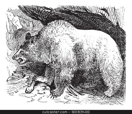 Syria bears (Ursus isabellinus), vintage engraving stock vector clipart, Syria bears (Ursus isabellinus), vintage engraved illustration. Trousset encyclopedia (1886 - 1891). by Patrick Guenette