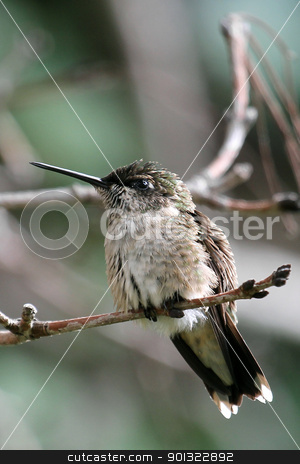 Hummingbird stock photo, Hummingbird perched on tree branch by April Robinson