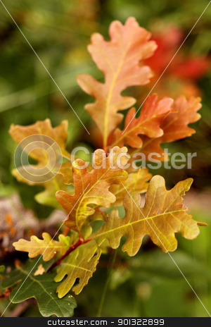 Oak Leaves stock photo, Colorful autumn oak leaves near Ouray Colorado by April Robinson