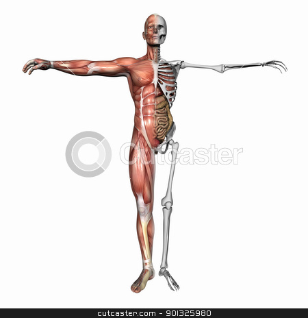 Anatomy, muscles and skeleton stock photo, High resolution 3D illustration of a human skeleton. Isolated on white background by Dusan Todorovic