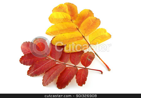 Two twigs of rowan-tree stock photo, Two twigs of rowan-tree with color autumn leaves by Sergei Devyatkin