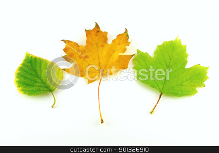 Color autumn leaves of birch and maple stock photo, Color autumn leaves of birch and maple over white by Sergei Devyatkin