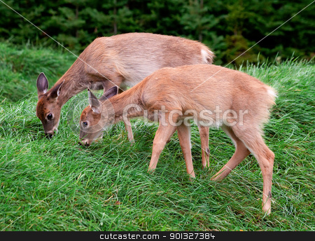 Fawns eating grass stock photo, Two fawns are eating grass. by Denis Pepin