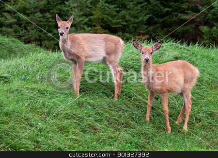 Fawns Looking at the Camera stock photo, Two fawns looking at the camera. by Denis Pepin