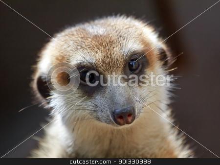 Meerkat Suricate Suricata Suricatta Face Looking  stock photo, Meerkat Suricate Suricata Suricatta Small Mammal from Kalahari Desert in Botswana Nambia  by William Perry