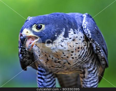 Gyr Falcon Falco Rusticolus stock photo, Gyr Falcon Falco Rusticolus eating by William Perry