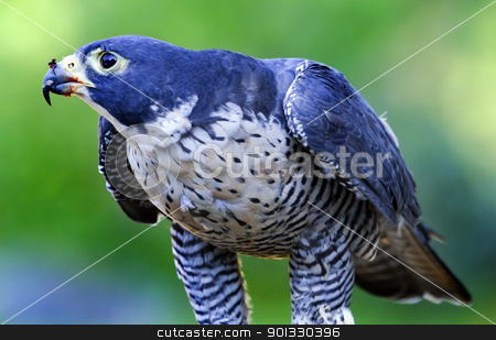 Gyr Falcon Falco Rusticolus stock photo, Gyr Falcon Falco Rusticolus eating by William Perry