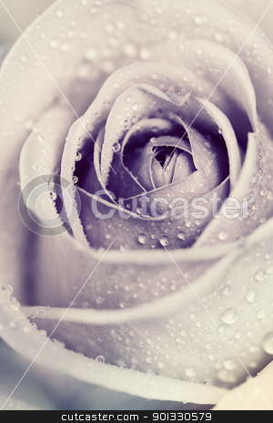 rose stock photo, Close-up view of beatiful pink rose with water drops by klenova