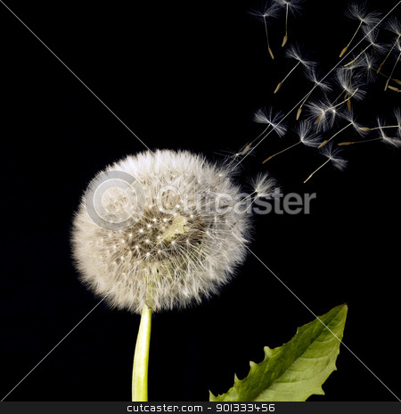 blowball and flying dandelion seeds stock photo, blowball and flying seeds in black back by prill