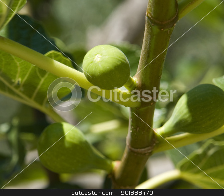 fig tree and figs stock photo, detail of a fig tree with small unripe figs in sunny ambiance by prill