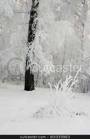 Frost on the birch branches. stock photo, Fantastic frost on the birch trees in winter. Tree branches covered with a thick layer of frost. by sauletas
