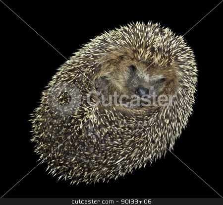 rolled-up hedgehog portrait stock photo, portrait of a rolled-up young hedgehog. Studio photography in black back by prill