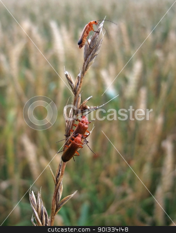 some soldier beetles on a stalk stock photo, 3 soldier beetles sitting on a stalk, surrounded by blurry grass plants by prill