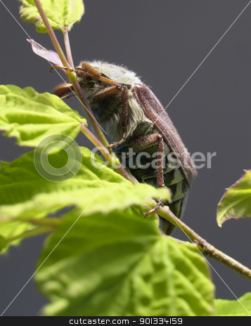 may beetle sitting on a twig stock photo, may beetle sitting on a twig with fresh leaves in grey back by prill
