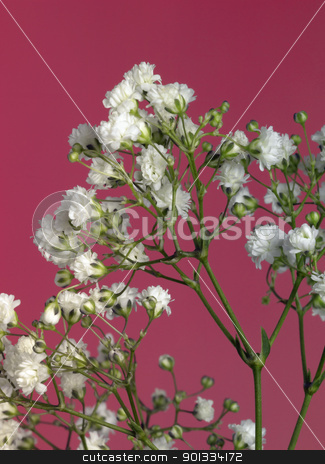 Babys-breath stock photo, Gypsophila paniculata in front of red back by prill