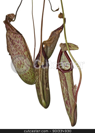 carnivorous plant detail stock photo, carnivorous pitcher plant detail in white back by prill