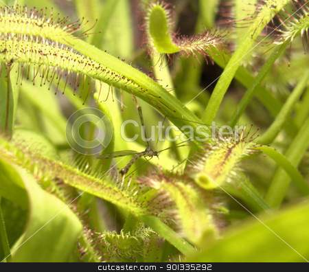 sundew plant detail stock photo, carnivorous flypaper trap plant detail by prill