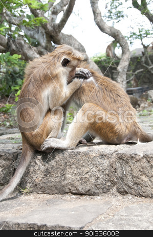 One Monkey Cleaning Another stock photo, Two wild monkeys cleaning each other fur, Sri Lanka by Iryna Rasko